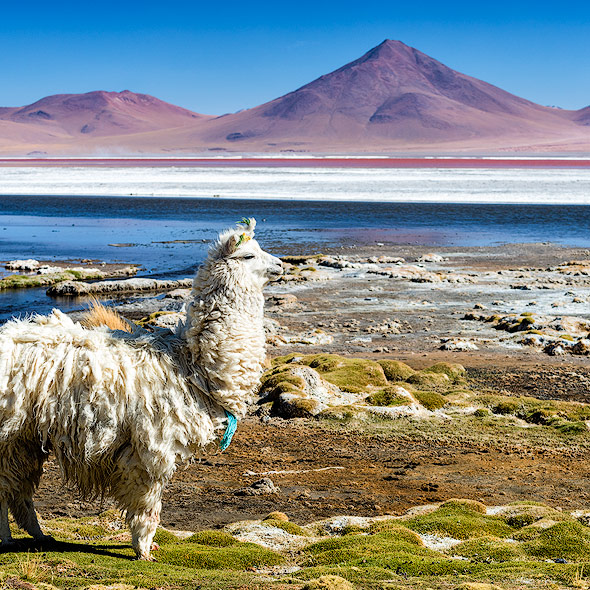 Lama an der Laguna Colorada