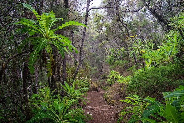Laurel forest in the Garajonay National Park on La Gomera