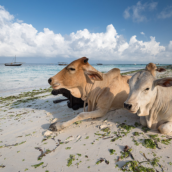 Even the cows seem to enjoy the beach